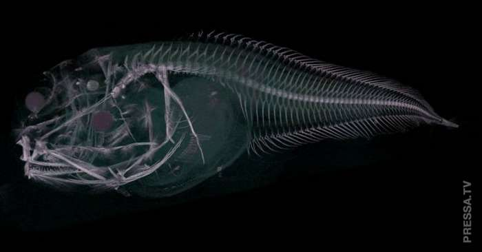 Ученые обнаружили новые  виды глубоководных рыб, которые тают на поверхности