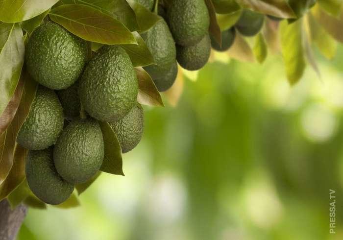 Факты об авокадо, которые вы, вероятно, не знаете