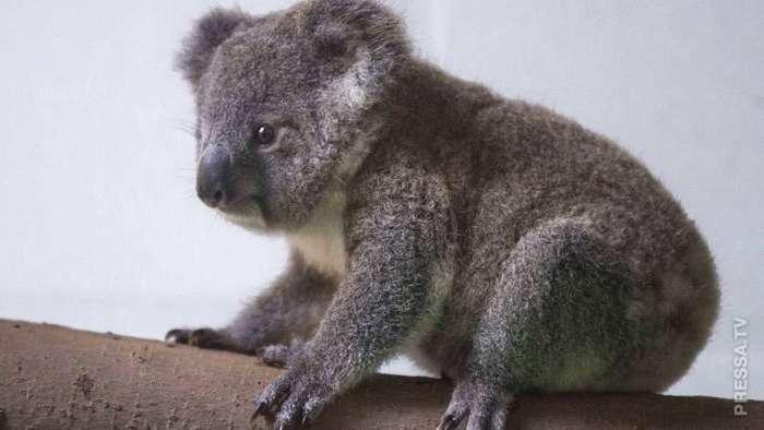 Новорожденная коала в китайском зоопарке впервые вышла к людям