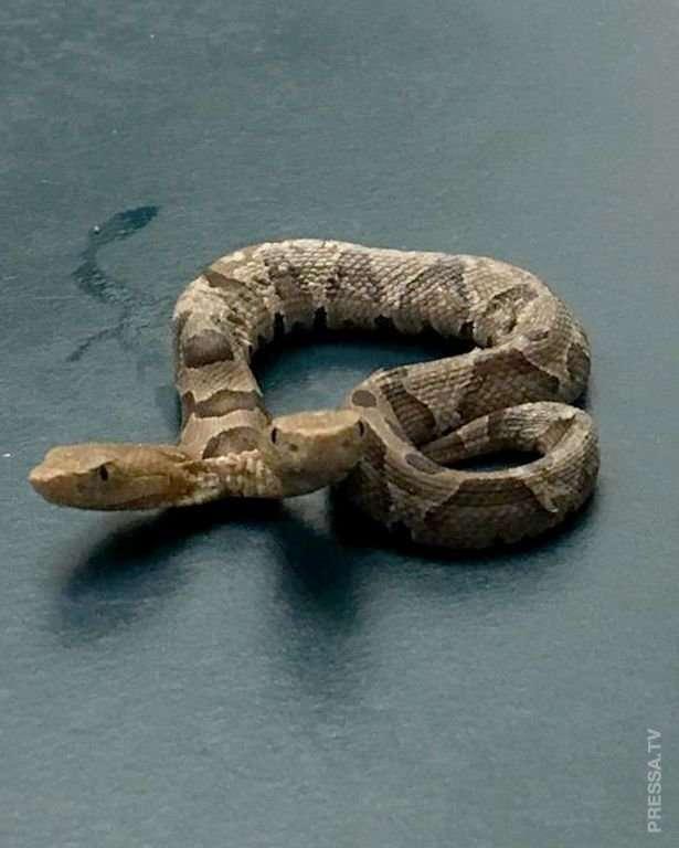 Редкая двуглавая змея найдена в США