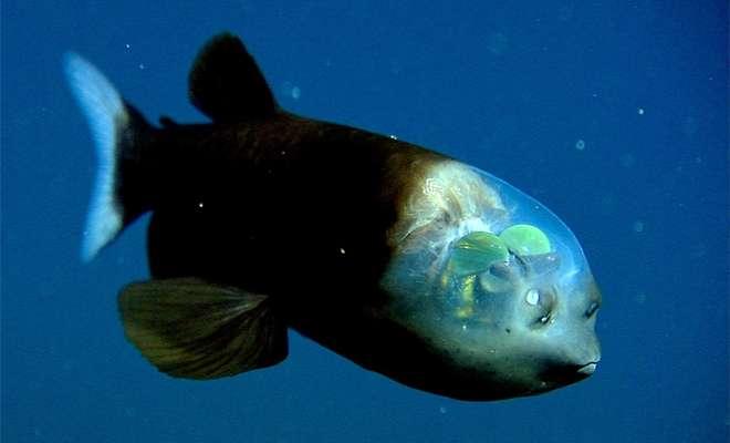 Странная рыба, которая будто прилетела с другой планеты -2 фото + видео-