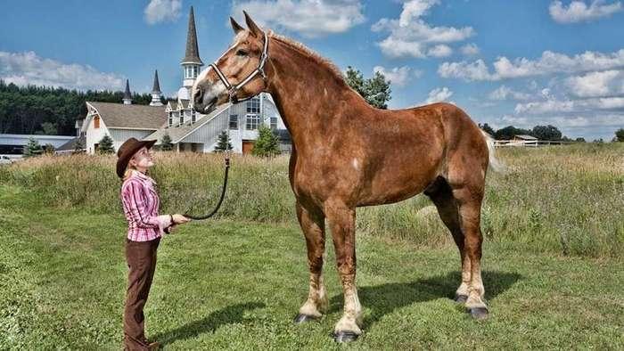Большой Джейк — самый высокий конь в мире