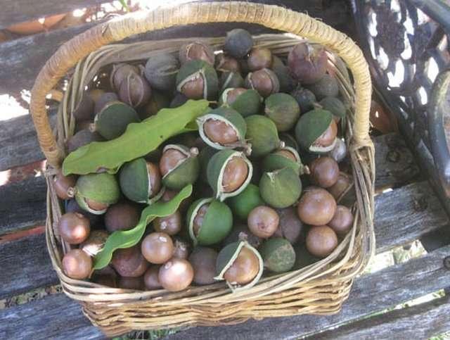 Макадамия - один из самых дорогих орехов в мире-5 фото-