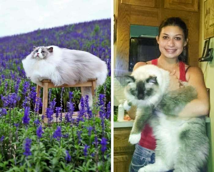 6крупнейших пород домашних кошек, которые легко могут задать жару своим диким сородичам
