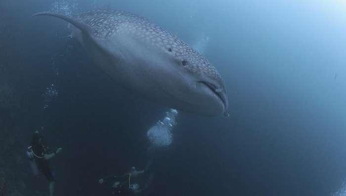 Организаторы подводного фестиваля на Мальдивах пригласили туристов поплавать с акулами-9 фото-