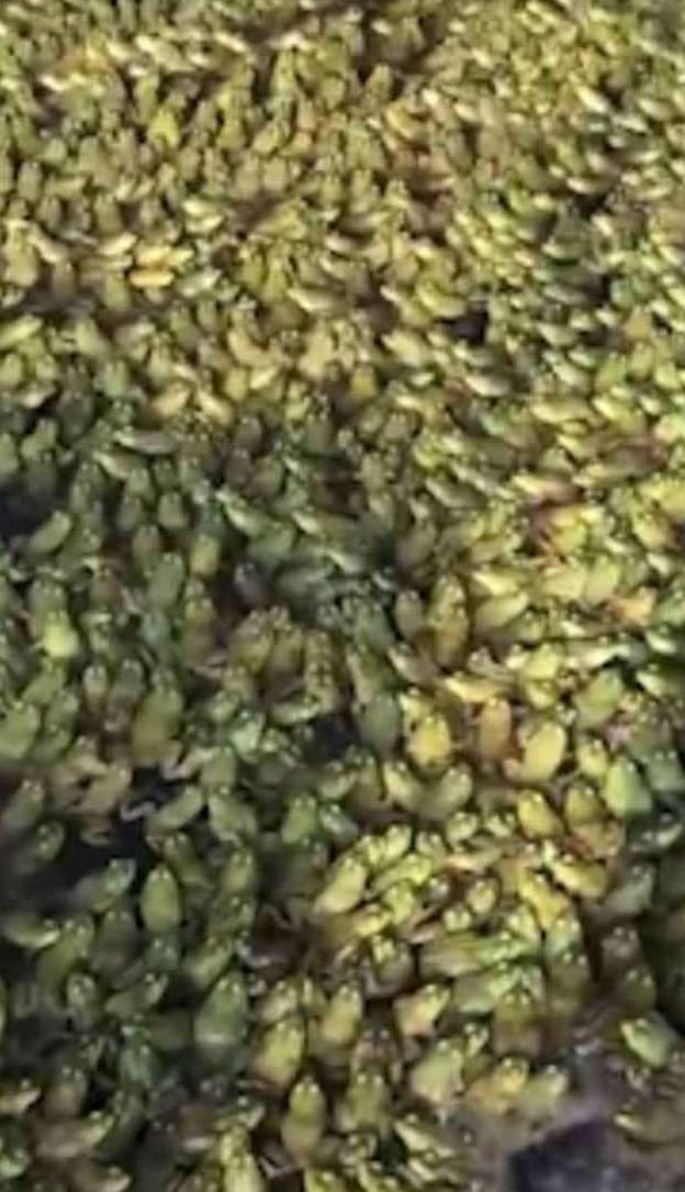 Китаец показал огромную популяцию лягушек на своей ферме-2 фото + 1 видео-