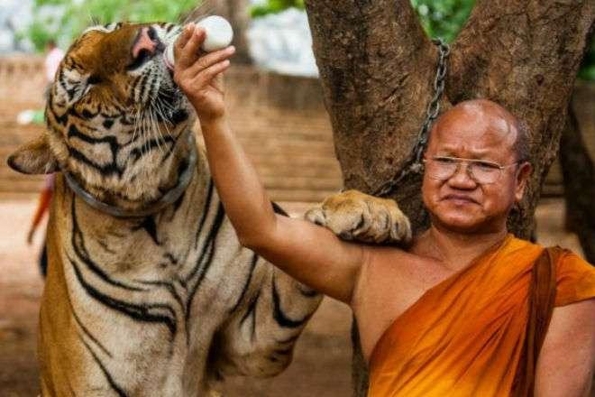 Тигриный монастырь: место, где хищники живут рядом с человеком