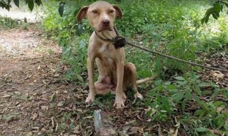 Беременную собаку оставили связанной в лесу рожать в одиночестве, без еды и воды