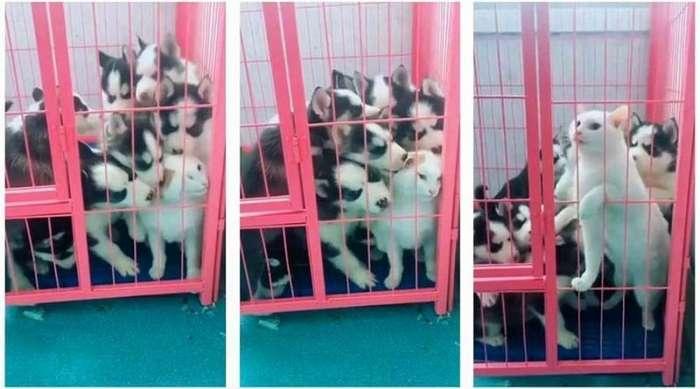 Щенки хаски навалились на кошку после того, как та имела неосторожность залезть к ним в клетку-3 фото + 1 видео-