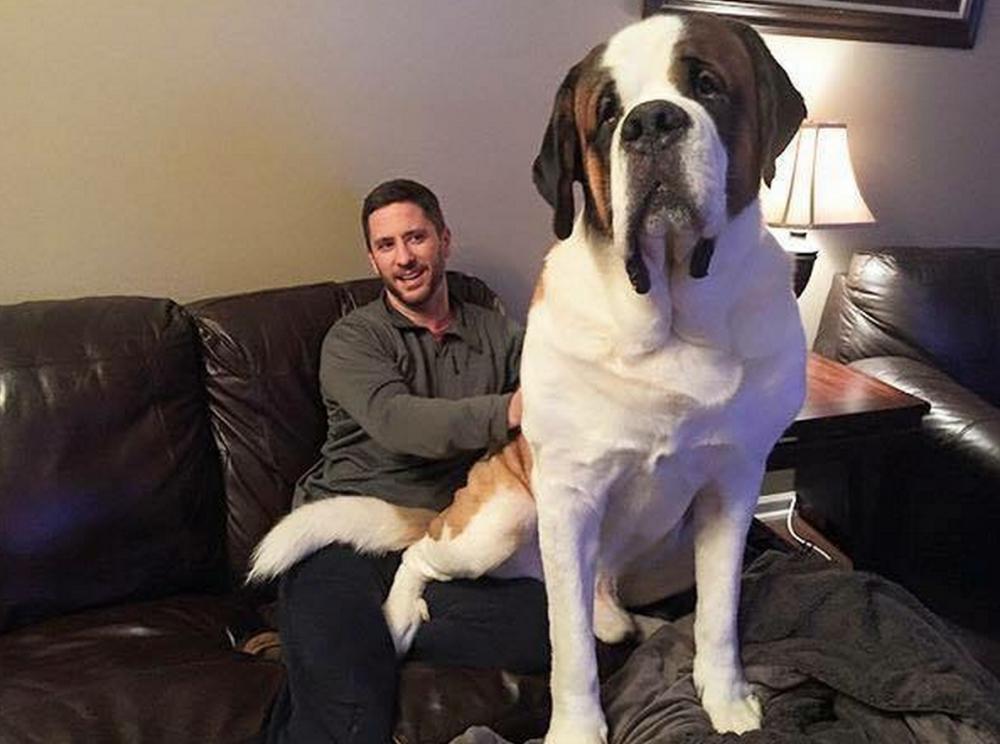 20 фото гигантских собак: что выросло, то выросло
