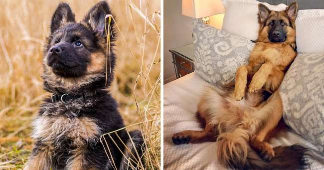 20+фотографий, доказывающих, что круче немецкой овчарки может быть только другая немецкая овчарка