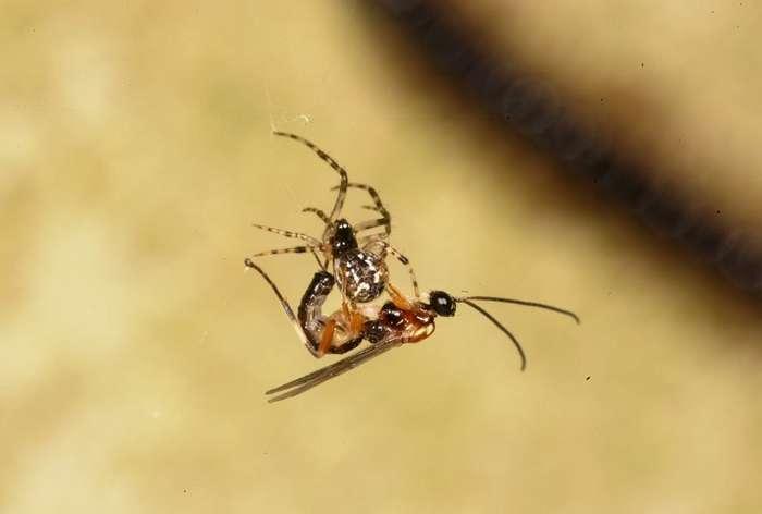 Зомби-рабы в мире насекомых, как раб становится едой, нянькой и телохранителем хозяина-паразита (7 фото + 1 гиф)