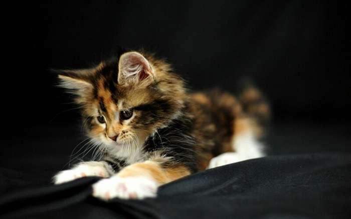 В Китае клонируют котят-1 фото-