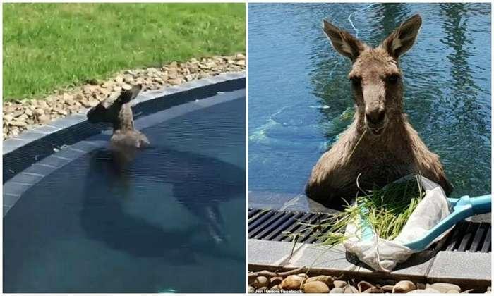 Австралийцы засняли, как в их бассейне прохлаждается 70-килограммовый кенгуру-3 фото + 1 видео-