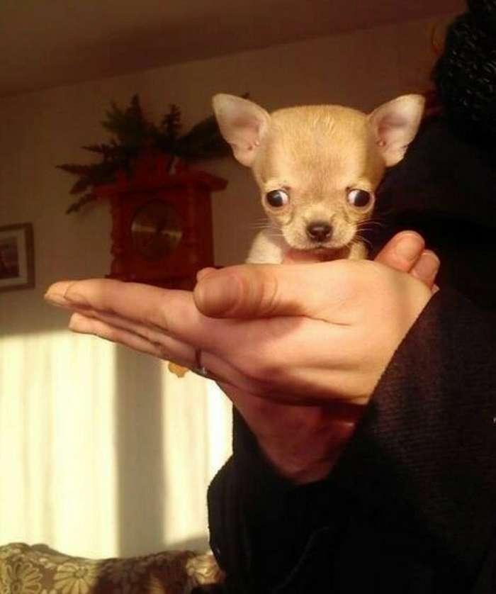 Туди — самая маленькая собака в мире?
