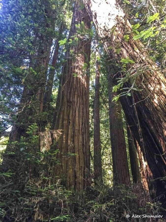 Muir Woods - сказка около Сан-Франциско-26 фото + 1 видео-