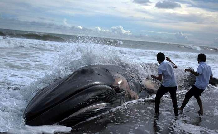 Найдено объяснение суицидальному поведению китов                     (1 фото)