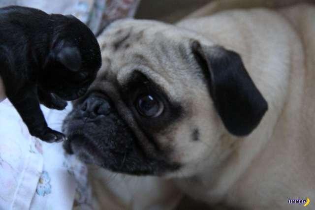 Мопсы – самые фотогеничные собаки!