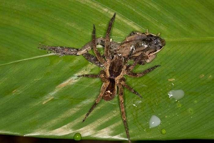 Отвратительные фото гигантских пауков, поедающих лягушек, ящериц и мышей                      Интересное