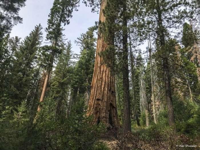 Путешествие в страну великанов: 500 секвой рощи Марипоса в Йосемити-33 фото + 1 видео-