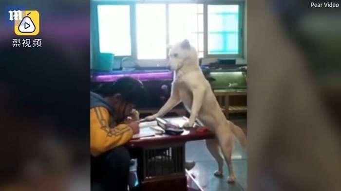 Мужчина обучил своего пса следить за тем, чтобы дочка делала уроки и не отвлекалась-2 фото + 1 видео-