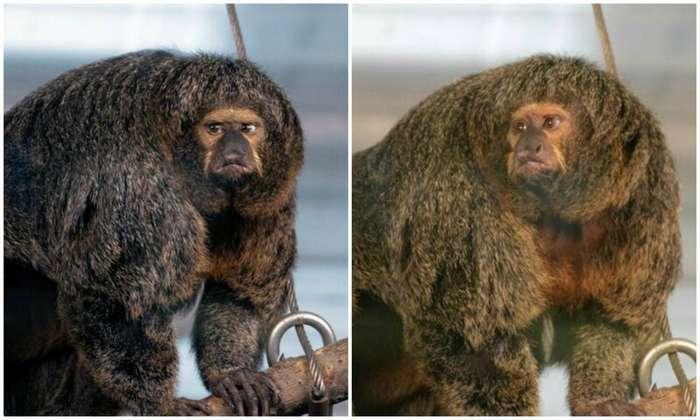 Интернет удивила обезьяна-бодибилдер из финского зоопарка-8 фото-