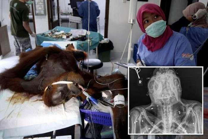 Самка орангутана ослепла, защищая детеныша (11 фото)
