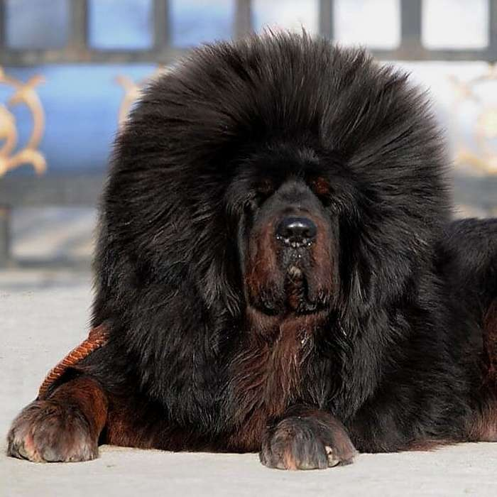 17 снимков тибетских мастифов, в которых 60 килограммов шерсти, любви и очарования                      Интересное