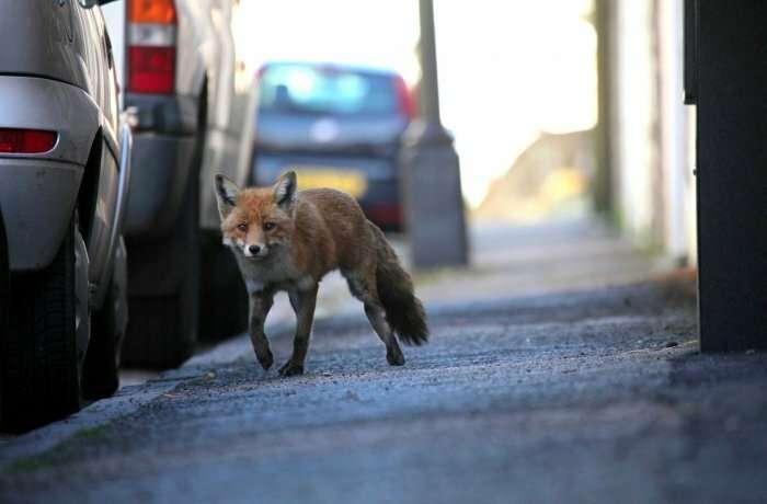 Нашествие лис на Москву. В мэрии рассказали, что дикие животные в городе замещают бродячих собак-1 фото-