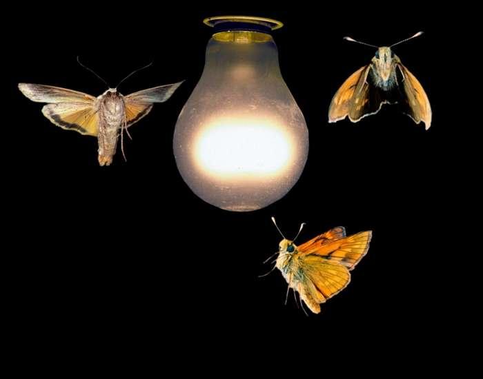 Почему ночные бабочки летят на свет?