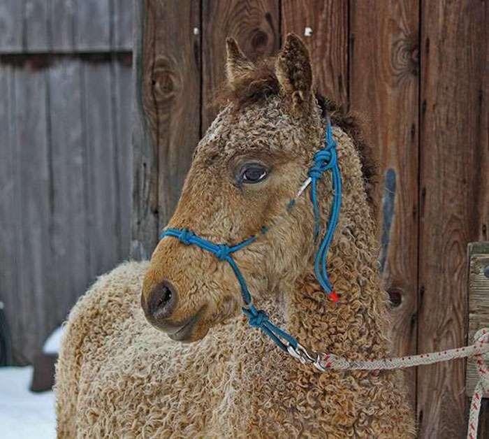 Кудрявые лошади – настоящее чудо природы Интересное