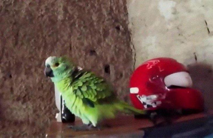 В Бразилии арестован попугай за то, что предупредил своих владельцев о полицейском рейде Интересное