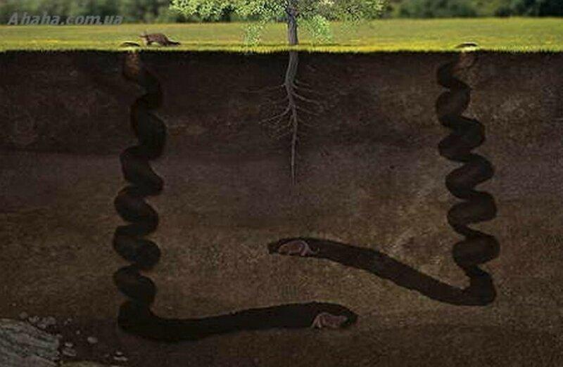 Штопор дьявола - что это такое и причем тут бобры-6 фото-