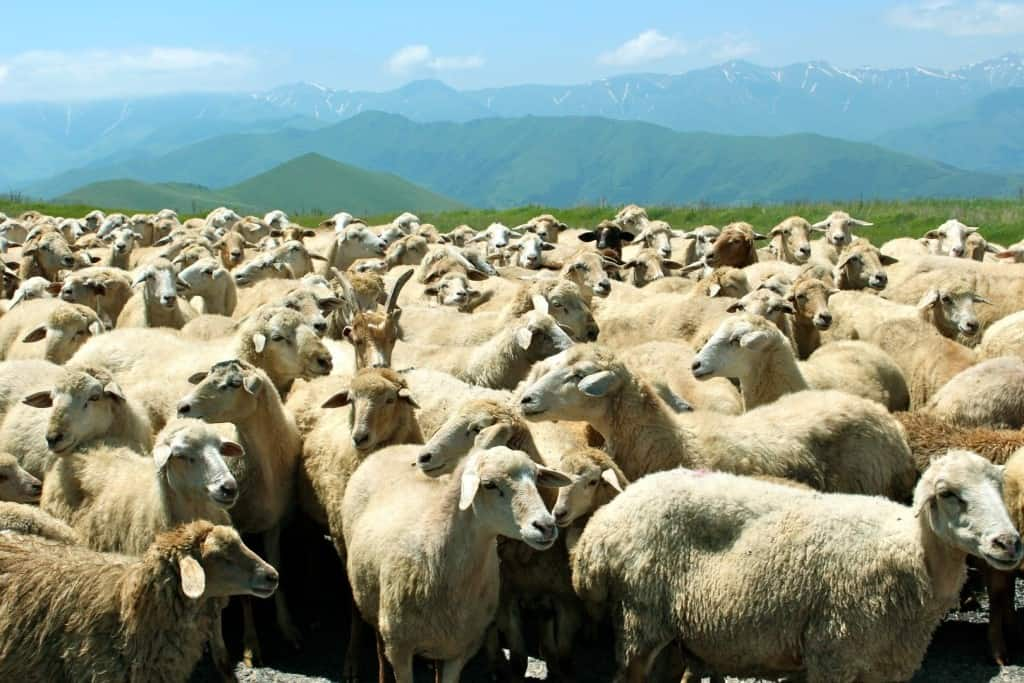 В Австралии больше овец, чем людей: этот и другие интересные факты о государстве Интересное