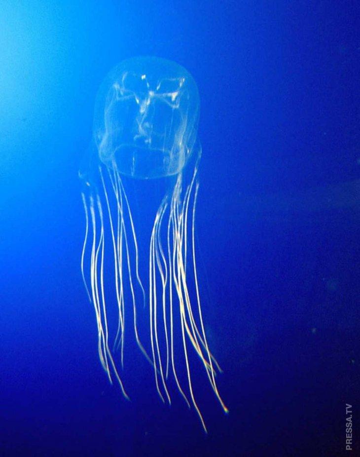 Одна медуза может убить 60 человек
