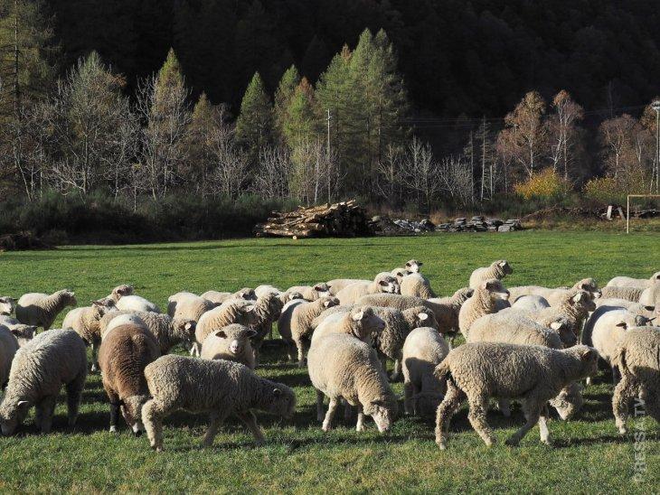 Во Франции в школу зачислили овец, чтобы не закрылись классы из-за нехватки учеников