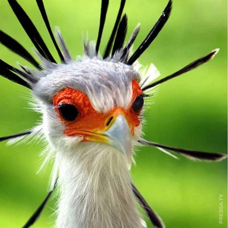 Чудо природы: птица-секретарь