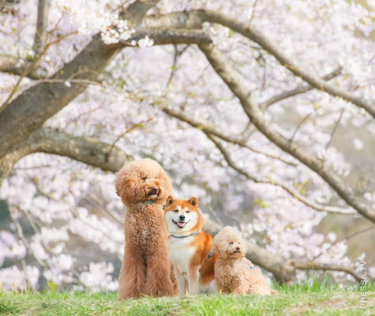 Хати - самый популярный Шиба ину, который любит фотографироваться в цветах