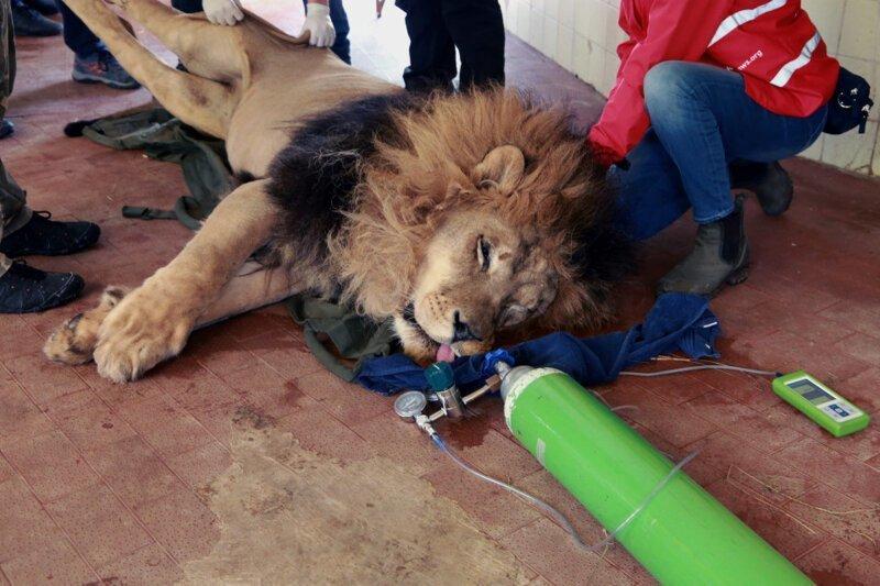 Зоозащитники спасли обитателей -худшего зоопарка мира--11 фото + 1 видео-