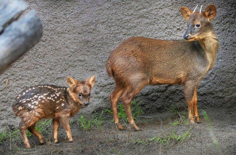 Пуду — самый крошечный в мире олень-3 фото-