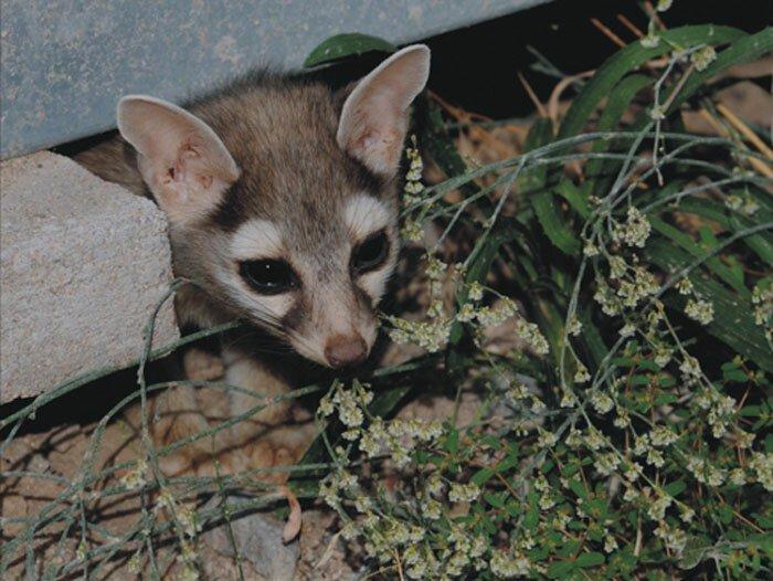 Какомицли — очаровательный зверек, о котором вы никогда не слышали                      Интересное