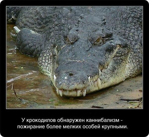 Факты о крокодилах и их среде обитания-20 фото-