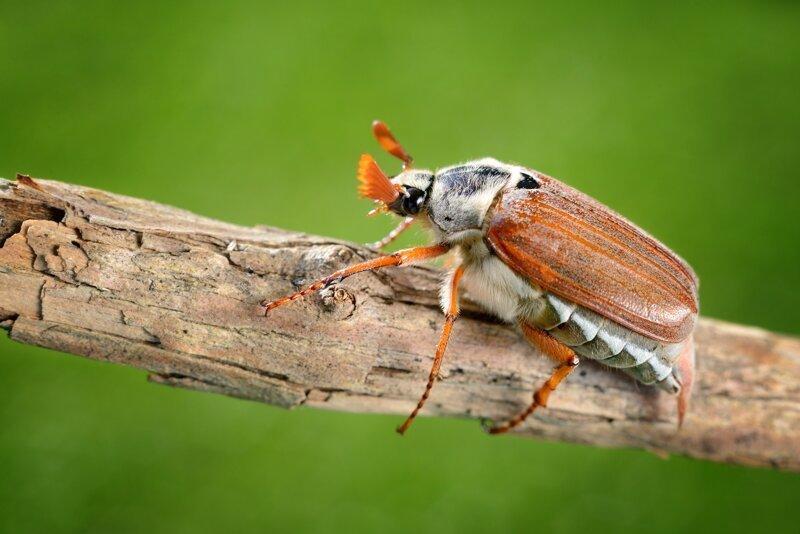 Редкий жук, ты враг или друг: почему майские жуки не встречаются ежегодно?-3 фото-