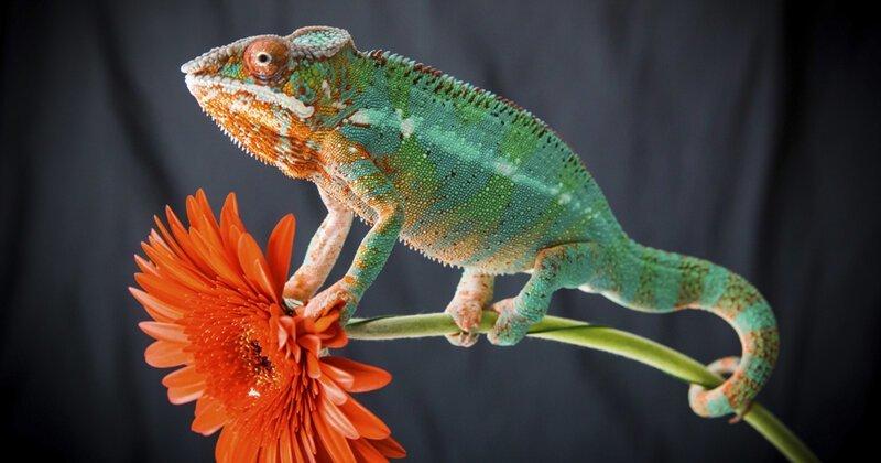 Правда ли, что хамелеон меняет цвет, чтобы спрятаться-1 фото + 1 видео-