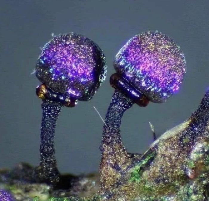 Черный одуванчик, пурпурный гриб, кожные паразиты: фотоподборка интересных вещей