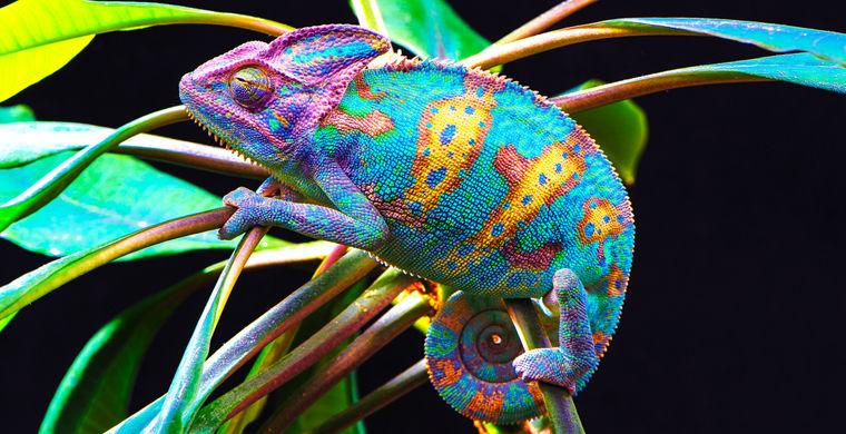 Зачем хамелеон меняет окраску Интересное