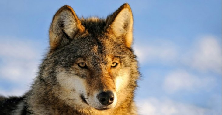 В Якутии обнаружена отрубленная голова волка, возрастом 40 000 лет