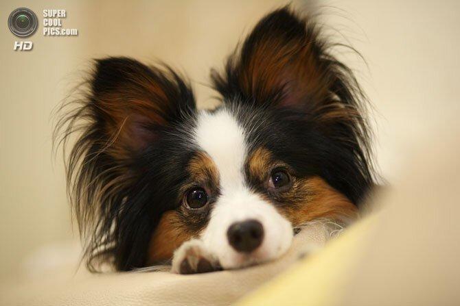 15 самых мелких пород собак-29 фото-
