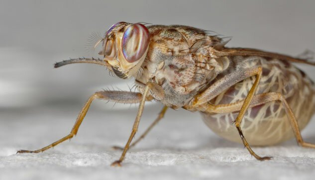Чем опасна муха цеце?-4 фото-