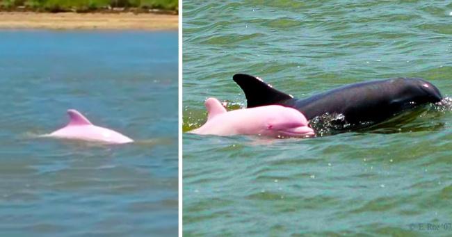 У редкого розового дельфина появился детеныш. Теперь есть надежда, что их будет больше